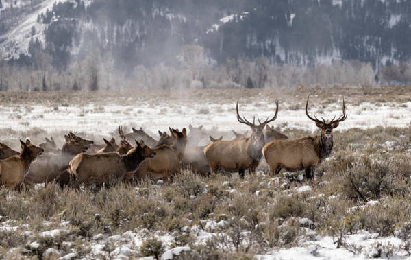 Photograph - Migrating Elk by Ronnie and Frances Howard