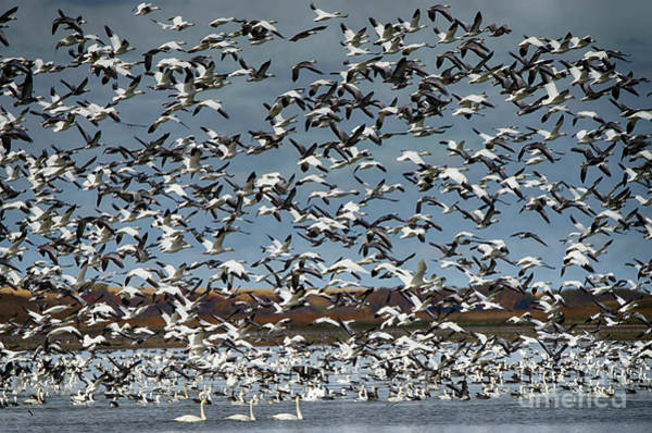 Wall Art - Photograph - Migration Of The Snow Geese 2 by Bob Christopher