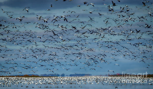 Wall Art - Photograph - Migration Of The Snow Geese by Bob Christopher