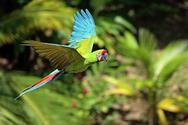 Macaw Photograph - Military Green Macaw At Flight Against by Juergen + Christine Sohns