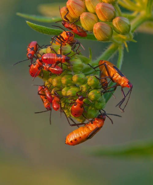Wall Art - Photograph - Milkweed Bugs by Michael Lustbader