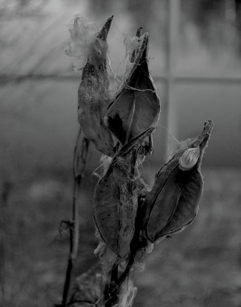 Photograph - Milkweed In Black And White by Maggy Marsh