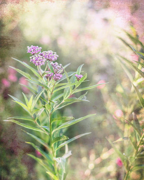 Photograph - Milkweed In The Summer Sun by Jennifer Grossnickle