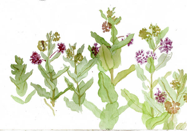 Pink Painting - Milkweed Sketch by Alice Ann Barnes