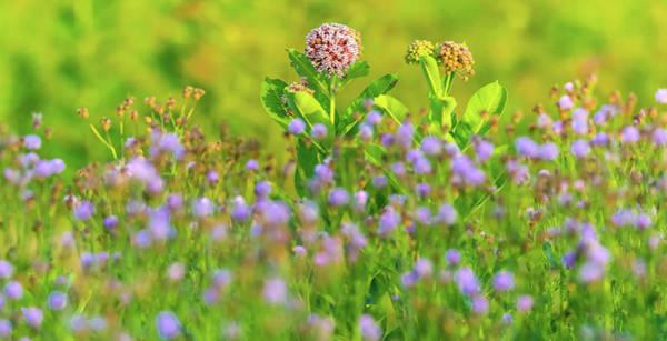 Wall Art - Photograph - Milkweed Wildflower Field by Dan Sproul