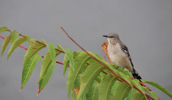 Wall Art - Photograph - Mimus Polyglottos by Mike Martin