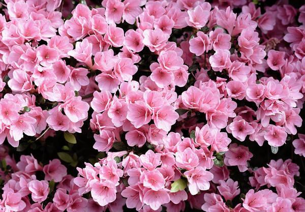 Photograph - Mini Azaleas #floral by Andrea Anderegg