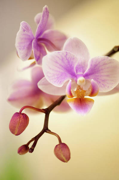 Rockville Photograph - Mini Flowering Pink Phalaenopsis Orchid by Maria Mosolova