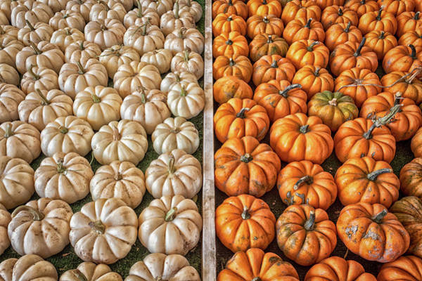 Photograph - Mini Pumpkins by Alison Frank