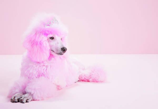 Poodle Photograph - Miniature Pink Poodle, Pink Poodle by Jw Ltd