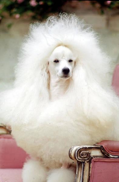 Poodle Photograph - Miniature Poodle, Ch. Tedwins Top Billi by Nina Leen