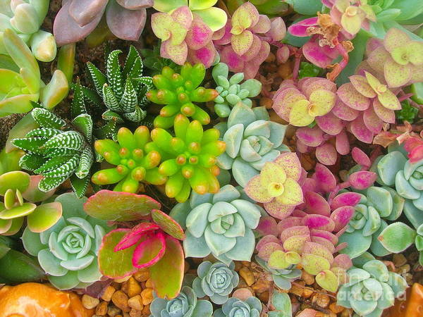 Wall Art - Photograph - Miniature Succulent Plants by Dinodentist