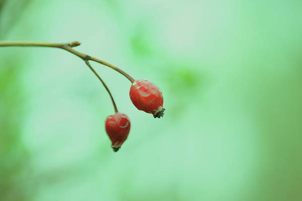 Sparse Photograph - Minimalist Berries by D. Sharon Pruitt Pink Sherbet Photography
