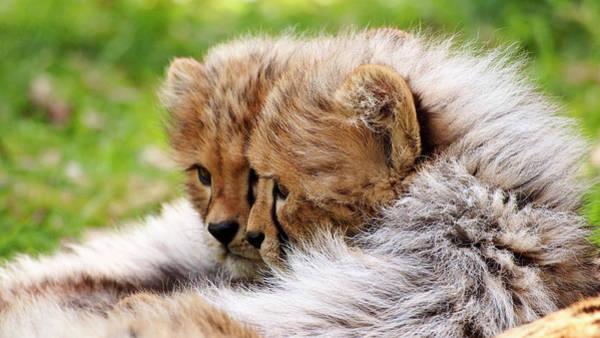 Photograph - Mirror Cheetah Cubs by Eye to Eye Xperience