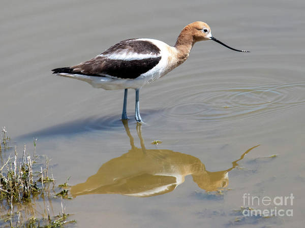 Wall Art - Photograph - Mirrored Avocet by Mike Dawson