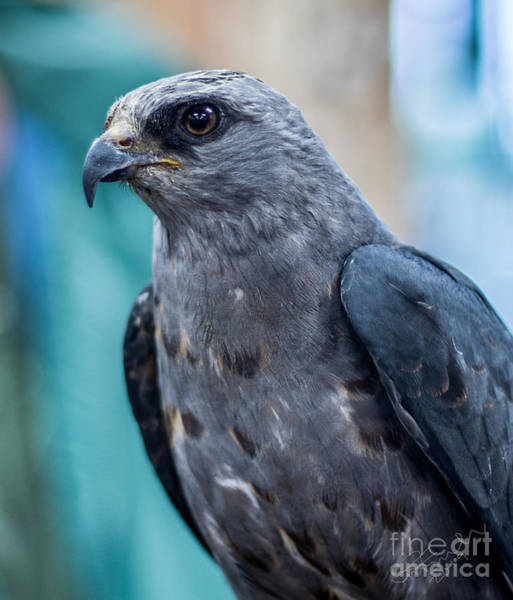 Wall Art - Photograph - Mississippi Kite by May Finch