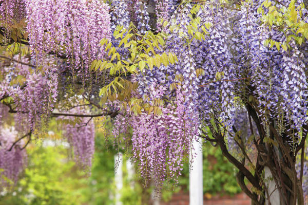 Photograph - Mixed Bloom Of Purple And Purple Wisteria by Jenny Rainbow