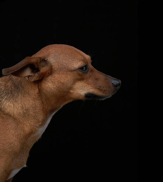 Breed Of Dog Photograph - Mixed Breed Dog Profile On Black by M Photo