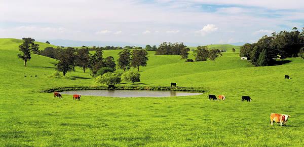 Grazing Photograph - Mixed Breeds Beef Cattle Grazing Near by Australian Scenics