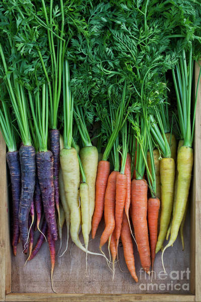 Photograph - Mixed Carrots by Tim Gainey
