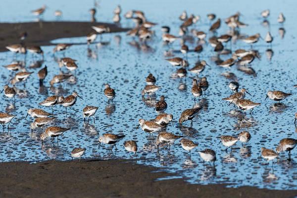 Photograph - Mixed Flock Of Shorebirds by Robert Potts