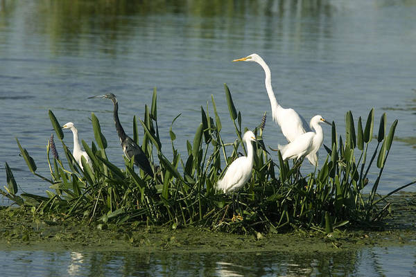 Wall Art - Photograph - Mixed Group Of Egrets by David Hosking