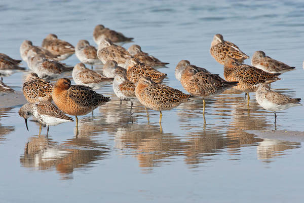 Dunlin Photograph - Mixed Shorebirds In Laguna Madre by Danita Delimont