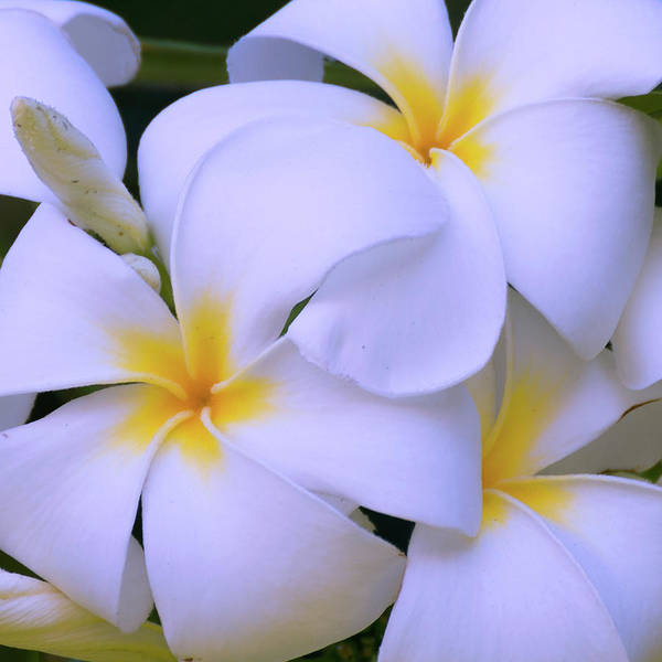 Plumeria Photograph - Mn 6514 by Mikes Nature