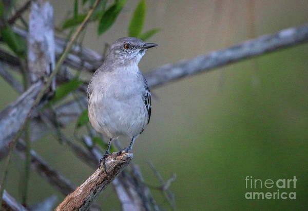 Photograph - Mocking Bird Perch by Tom Claud