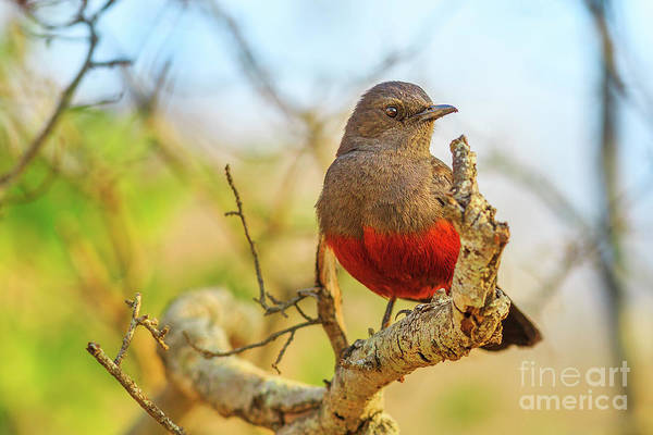 Photograph - Mocking Cliff Chat Female by Benny Marty