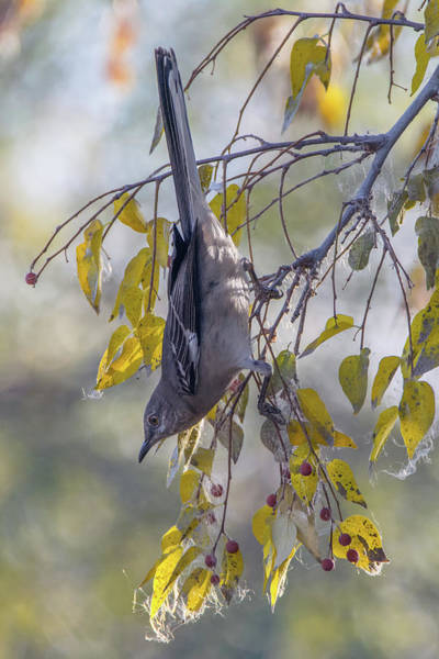 Photograph - Mockingbird 0973-010518-1 by Tam Ryan