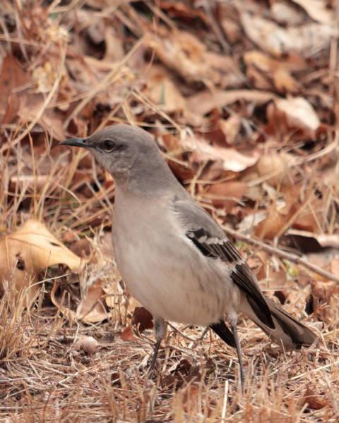 Photograph - Mockingbird 5621 by John Moyer