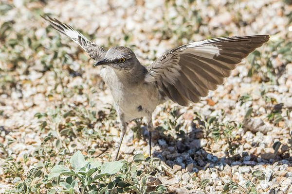 Photograph - Mockingbird 7603-041819 by Tam Ryan