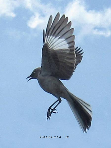 Photograph - Mockingbird by Angelcia Wright