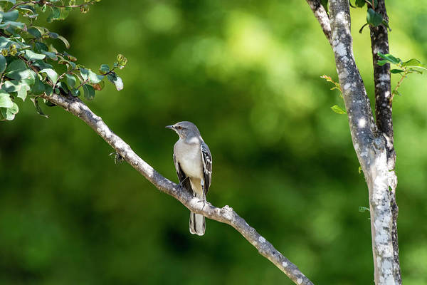 Photograph - Mockingbird by David Morefield