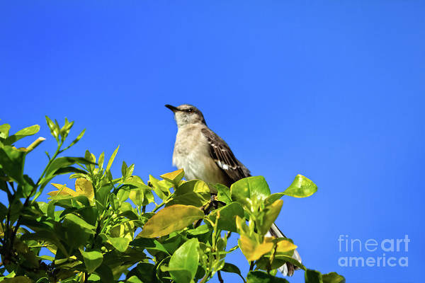 Wall Art - Photograph -  Mockingbird Enjoying The Morning Sun by Robert Bales