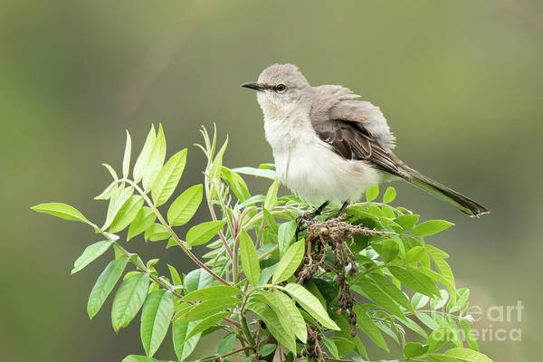 Photograph - Mockingbird Fluffed Feathers by Michael D Miller