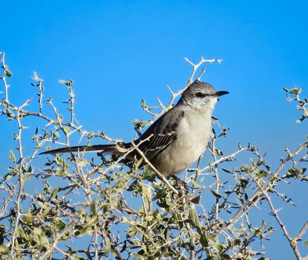Photograph - Mockingbird Hiding In Desert Hackberry by Judy Kennedy