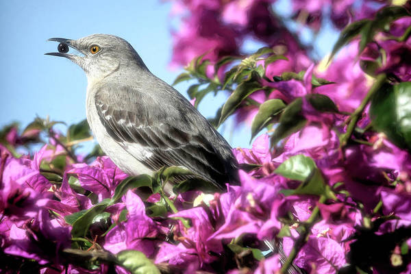 Mockingbird Photograph - Mockingbird In The Bougainvillea by Donna Kennedy