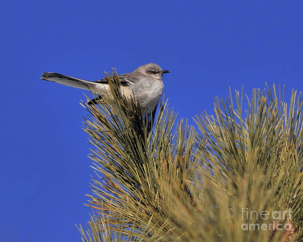 Photograph - Mockingbird In White Pine by Debbie Stahre