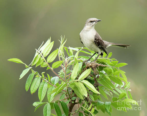 Photograph - Mockingbird On Bush by Michael D Miller