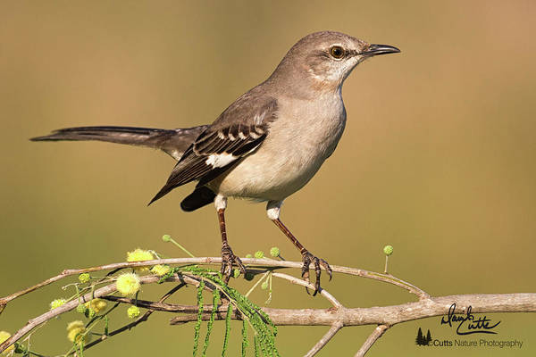 Photograph - Mockingbird Up Close by David Cutts