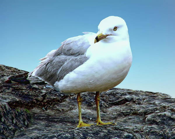 Photograph - Moewe Seagull by Anthony Dezenzio