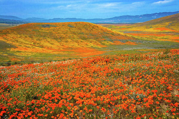 Photograph - Mojave Orange - Superbloom 2019 by Lynn Bauer