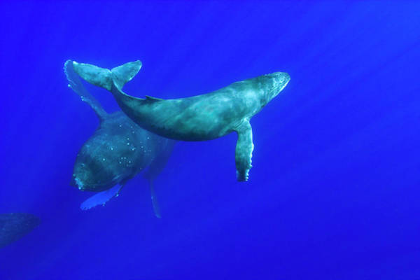 Wall Art - Photograph - Mom And Baby Humpback Whales, Pacific by Stuart Westmorland
