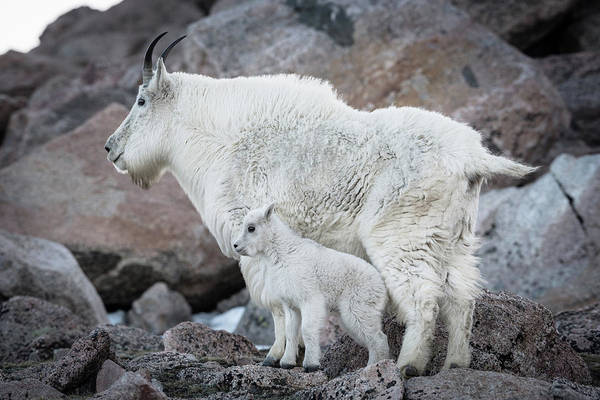 Mom And Baby Mountain Goat Art Print