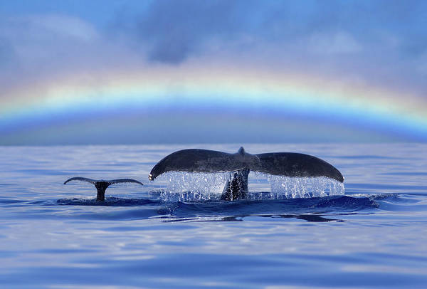 Beauty In Nature Photograph - Mom And Calf Humpback Whales Off Maui by David Olsen