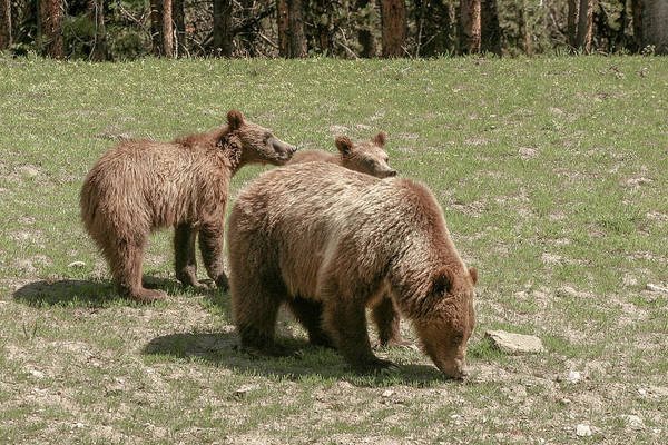 Photograph - Mom And Cubs by Ronnie and Frances Howard