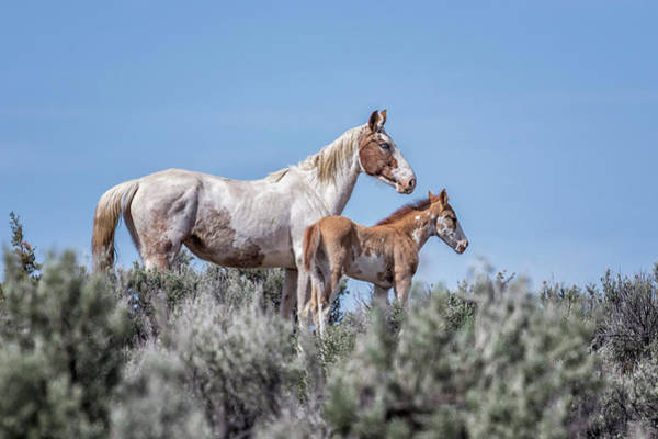 Photograph - Mom And Foal On The Hill - South Steens Mustangs by Belinda Greb