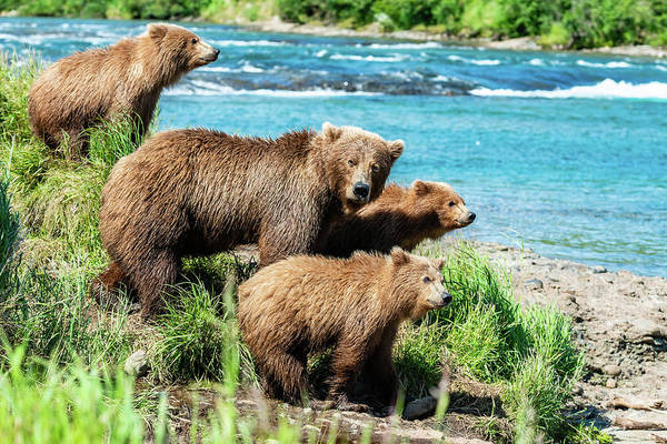 Grizzly Bears Photograph - Mom And Her Three Cubs by Ian Stotesbury